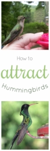 How to Attract Hummingbirds - Tips to bring these beautiful creatures to your yard and provide them with a good home #hummingbirds #birds #garden #wildlife #hummingbirdnectar