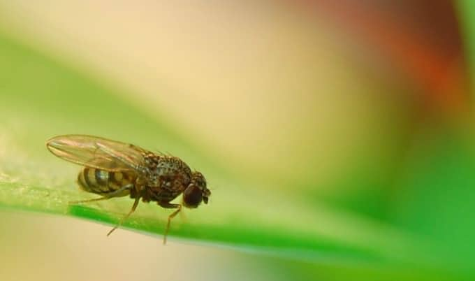 How To Get Rid Of Fruit Flies and keep them from coming back