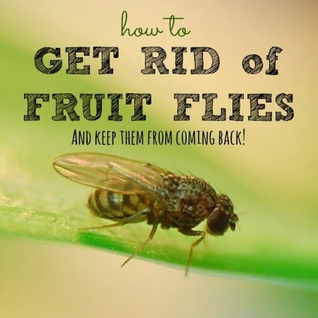 How to kill fruit flies from HousewifeHowTos.com