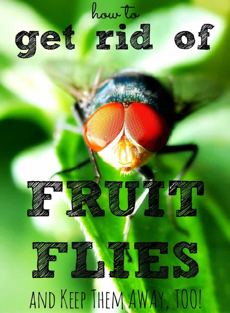 It's a myth that fruit flies die after 24 hours. They can breed thousands during their life-cycle. Here's how to kill them then keep them away for good!