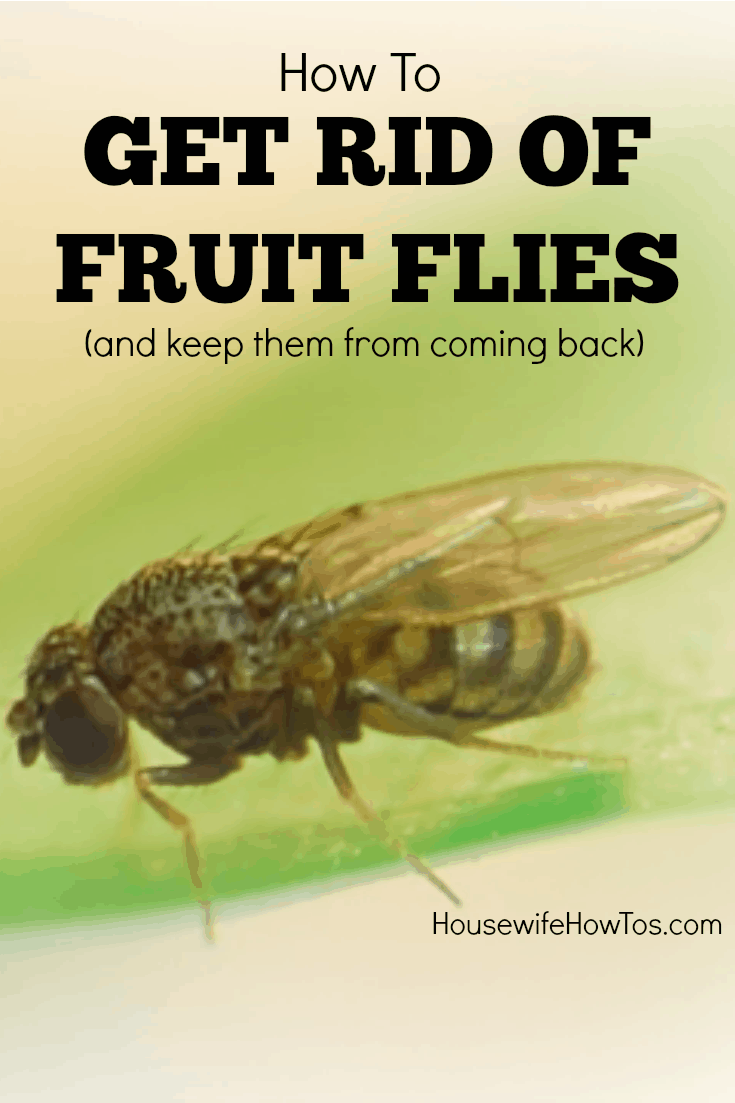 These tips on how to get rid of fruit flies finally got the things out of. How To Kill Fruit Flies  and prevent them  too    Housewife How To s