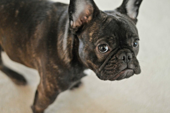 My brindle French Bulldog is why I need to know How to Clean Pet Stains on any surface