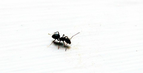 How to get rid of ants - Attack them indoors and out