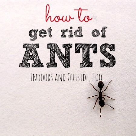 How To Get Rid Of Ants From HousewifeHowTos.com