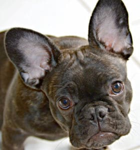 Mercy my French Bulldog