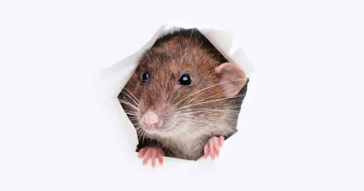cat urine mice repellent