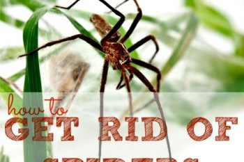 how to get rid of poisonous spiders