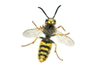 How to Repel Wasps Naturally