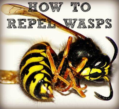 How to repel wasps naturally from HousewifeHowTos.com
