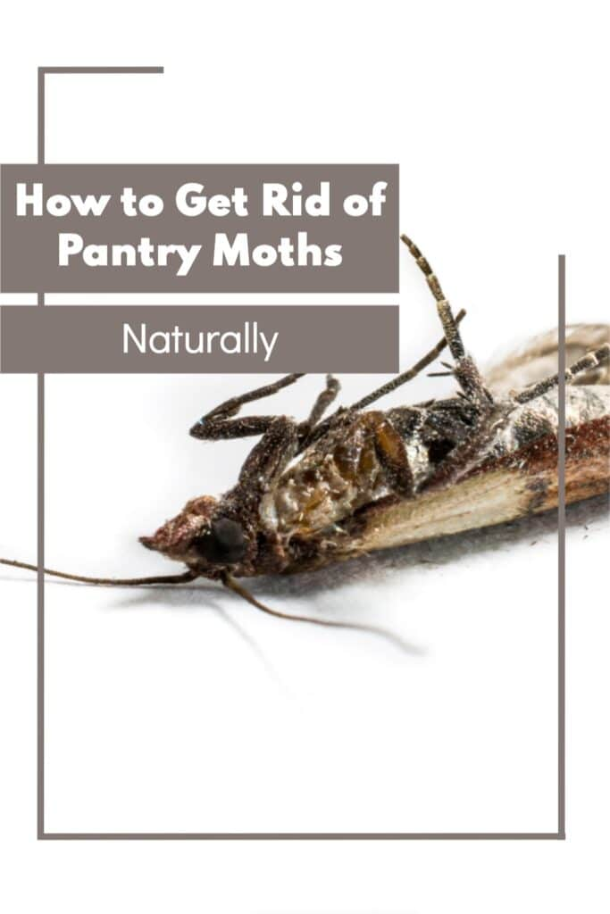 How to Get Rid of Pantry Moths Naturally