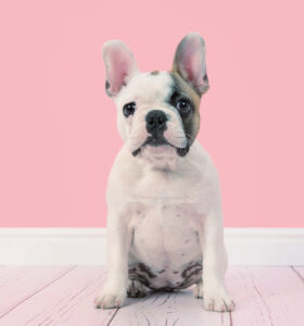 French bulldog puppy on a wood floor with pink background