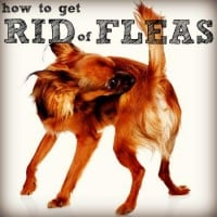 How to get rid of fleas from HousewifeHowTos.com
