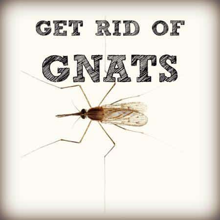 Gnat Control Get Rid of Gnats in House  Orkincom