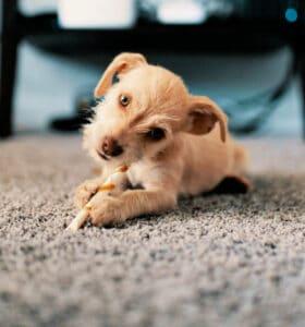 Dog chewing bone on clean carpet