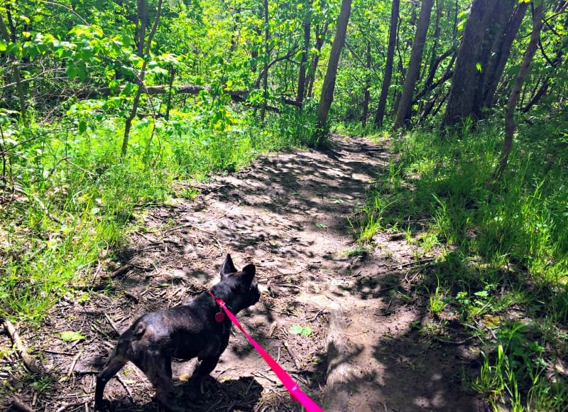 Walking a French bulldog in the forest on a dirt path