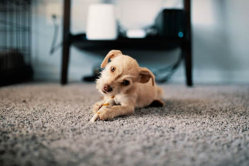 Dog chewing bone on clean carpet