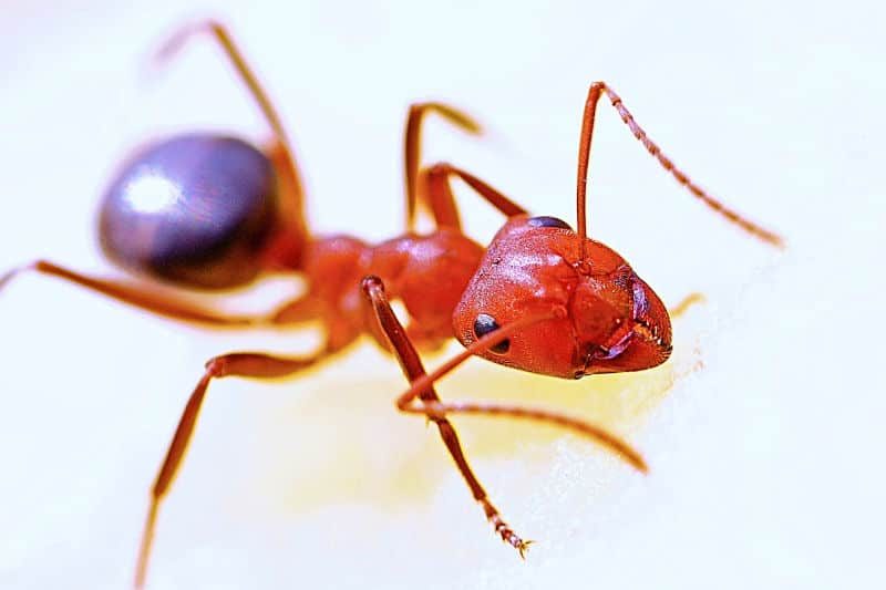 How to Get Rid of Ants Naturally -- Closeup of ant in home