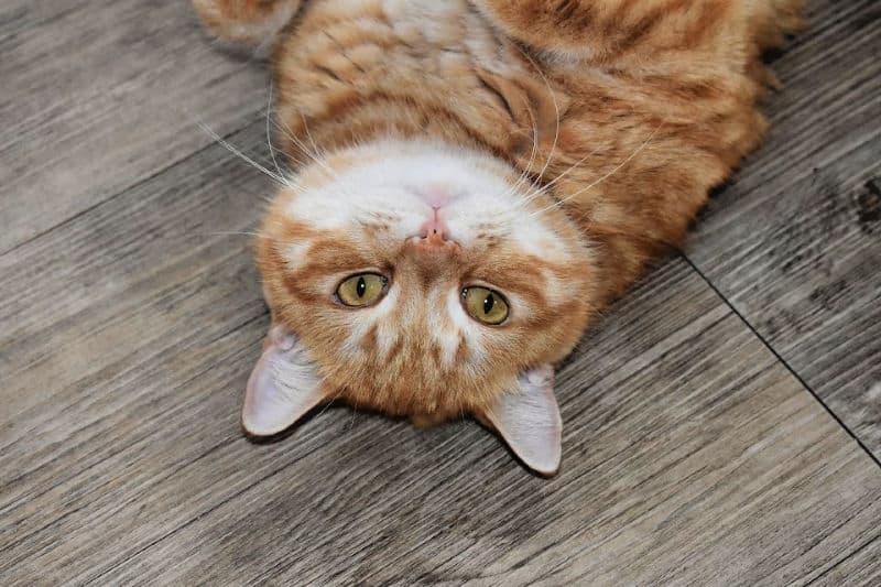 Fat orange cat on wood floor