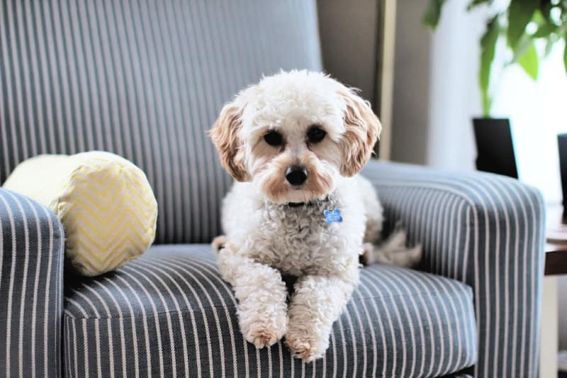 Small white dog on a ticking-striped chair