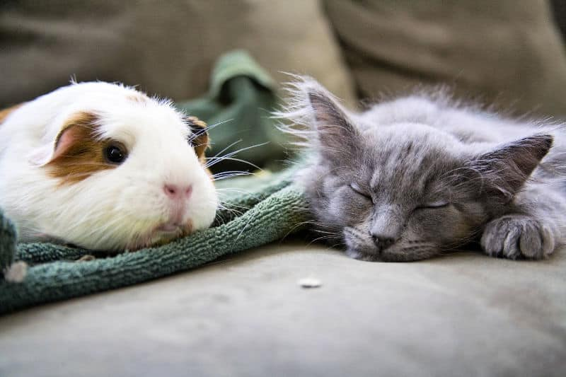 Guinea pig and kitten on sofa