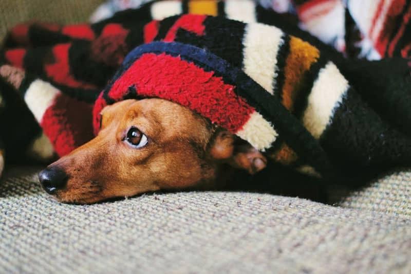 Dog snuggled under blanket