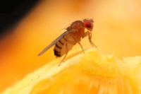 Closeup of a fruit fly on a sliced orange