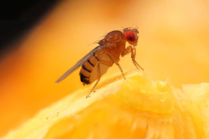 Closeup of a fruit fly on a sliced orange