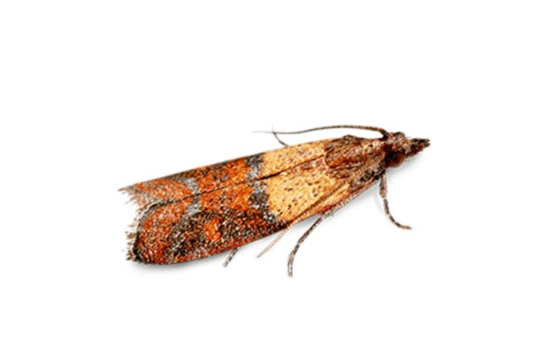 Pantry Moth