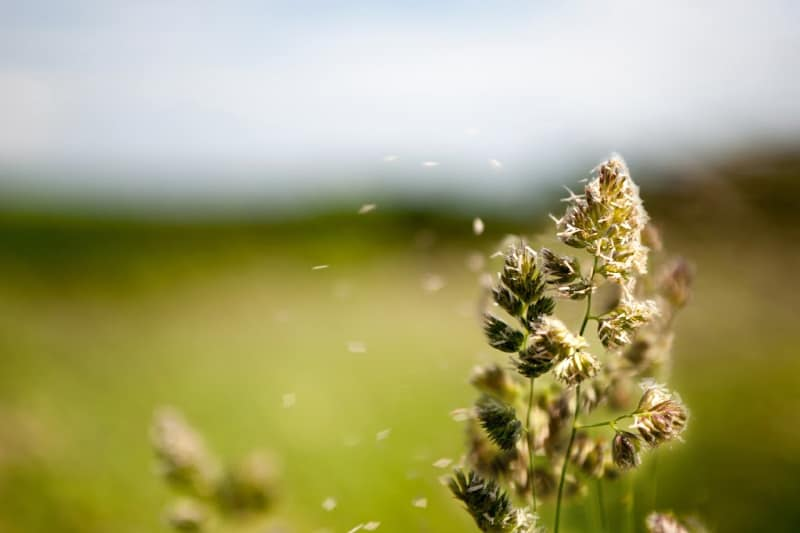 Outdoor allergy season pollen floating on wind from plant