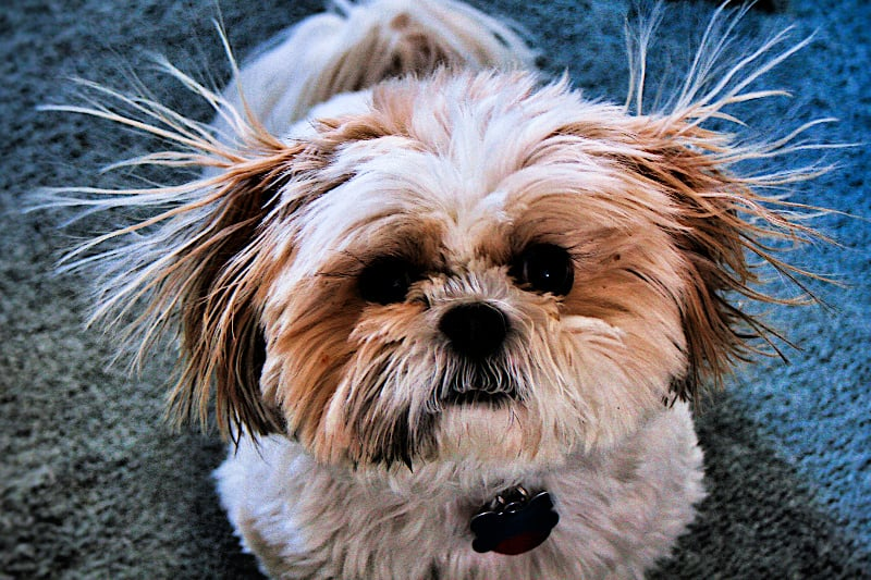 Shih-tzu dog on blue carpet with static electricity making his hair stand on end