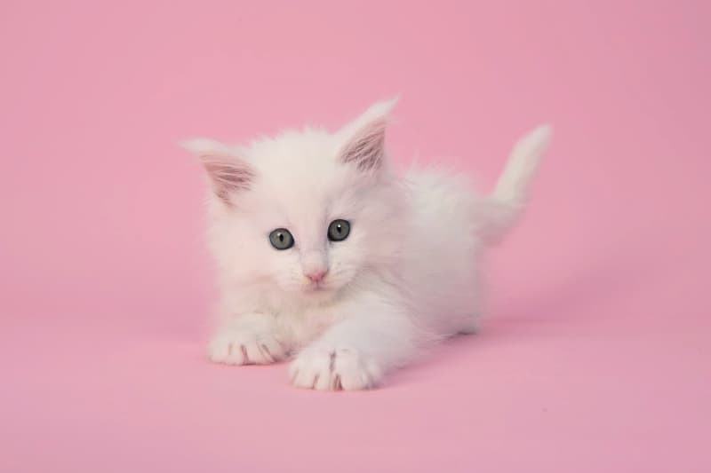 Cute white kitten on pink background