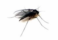 Gnat Trap Recipe