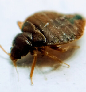 adult bedbug closeup