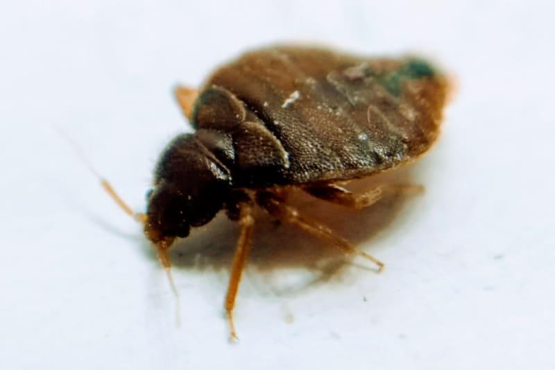 adult bedbug closeup