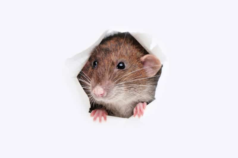 Brown mouse peeking through hole torn in paper