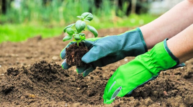 Woman wearing rubber garden gloves as she plants a basil seedling in soil