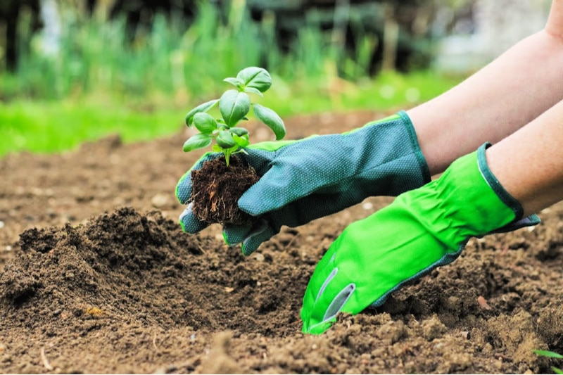 Woman wearing gloves as she plants a basil seedling in prepared soil
