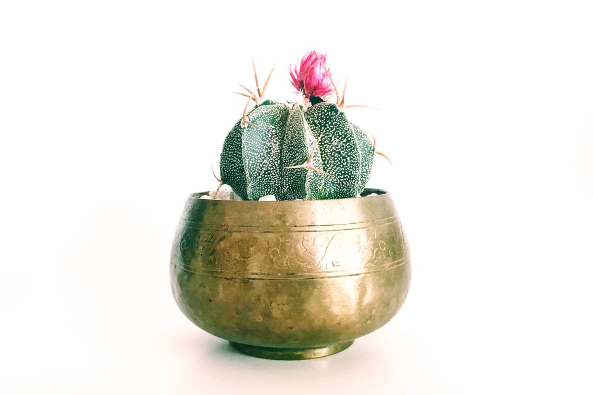 How to clean brass like this planter holding a small Christmas cactus in bloom