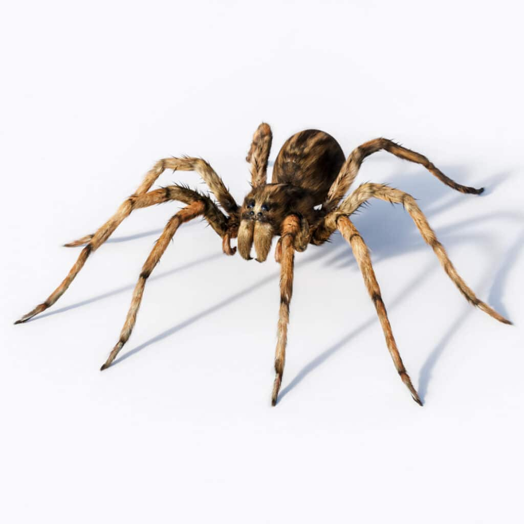 Closeup of wolf spider on white background
