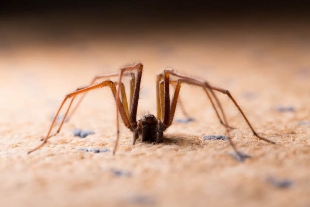 Closeup of big spider crawling on carpet