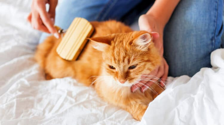 Female hands holding a ginger cat and using a brush to groom it