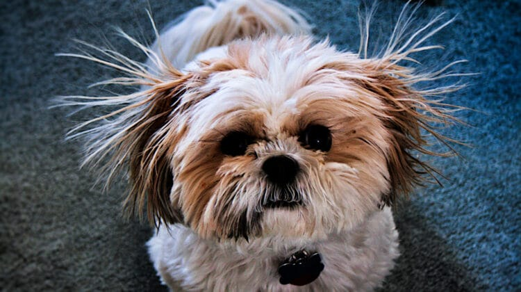 Small shih-tzu dog standing on carpet with static causing its hair to stand on end