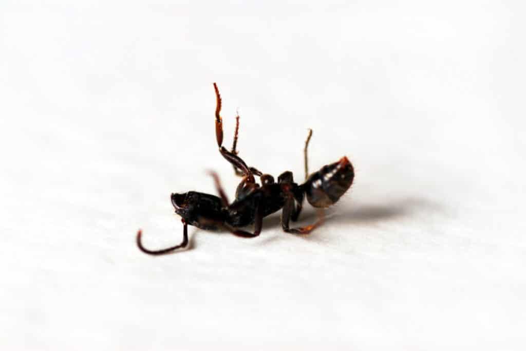 Closeup of ant killed by natural homemade ant killer powder