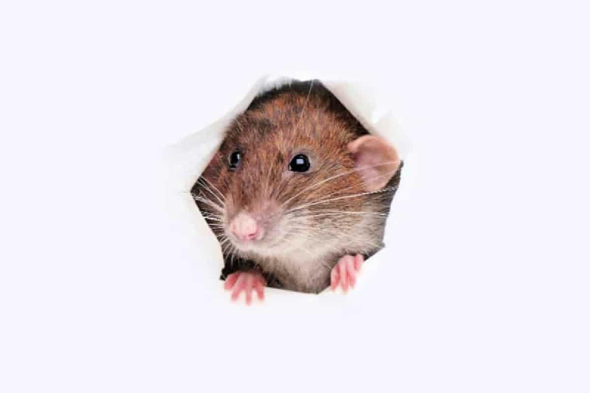Mouse peeking through hole