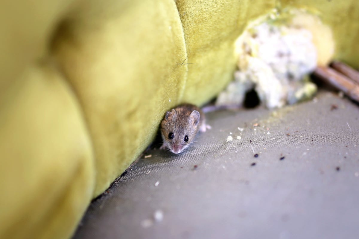 Gray mouse sits on sofa showing signs of mouse infestation including droppings and chewed upholstery