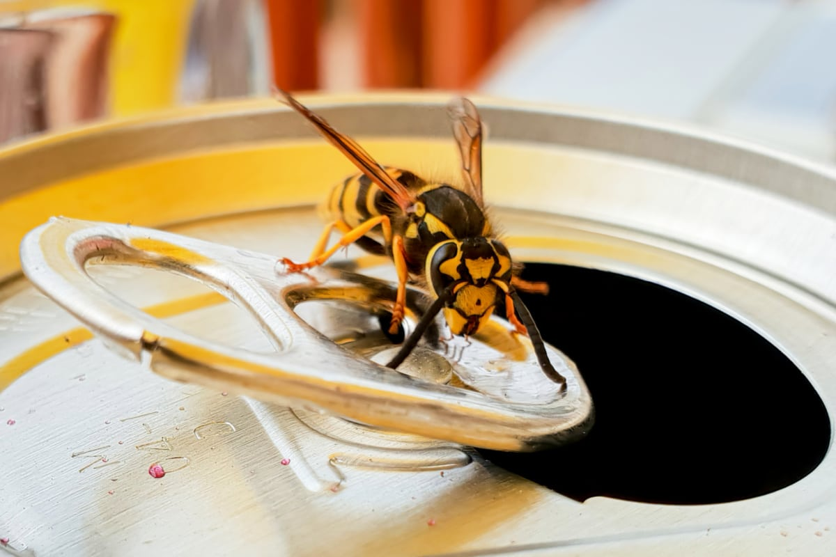 Closeup of wasp on top of uncovered pop can shows the importance of repelling wasps from picnics and BBQs