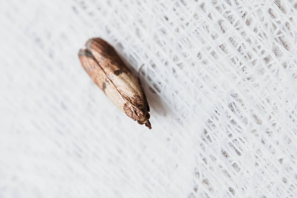 Closeup of a little brown pantry moth on a woven background