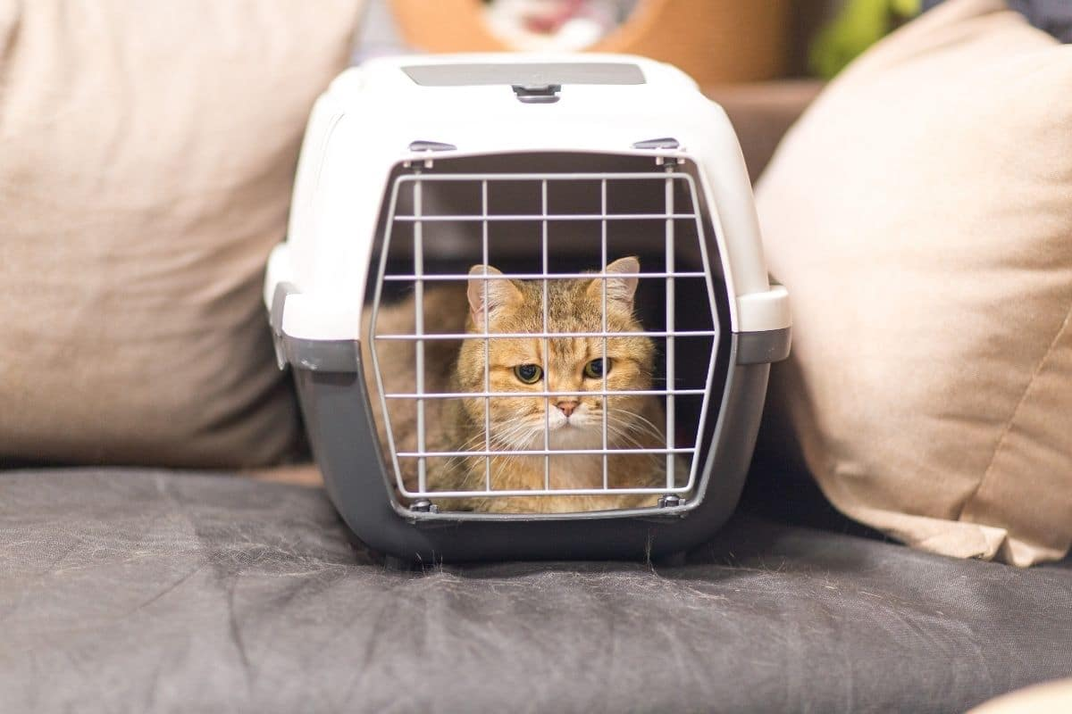 Orange cat in a pet carrier on the sofa is isolated while owner gets rid of fleas naturally