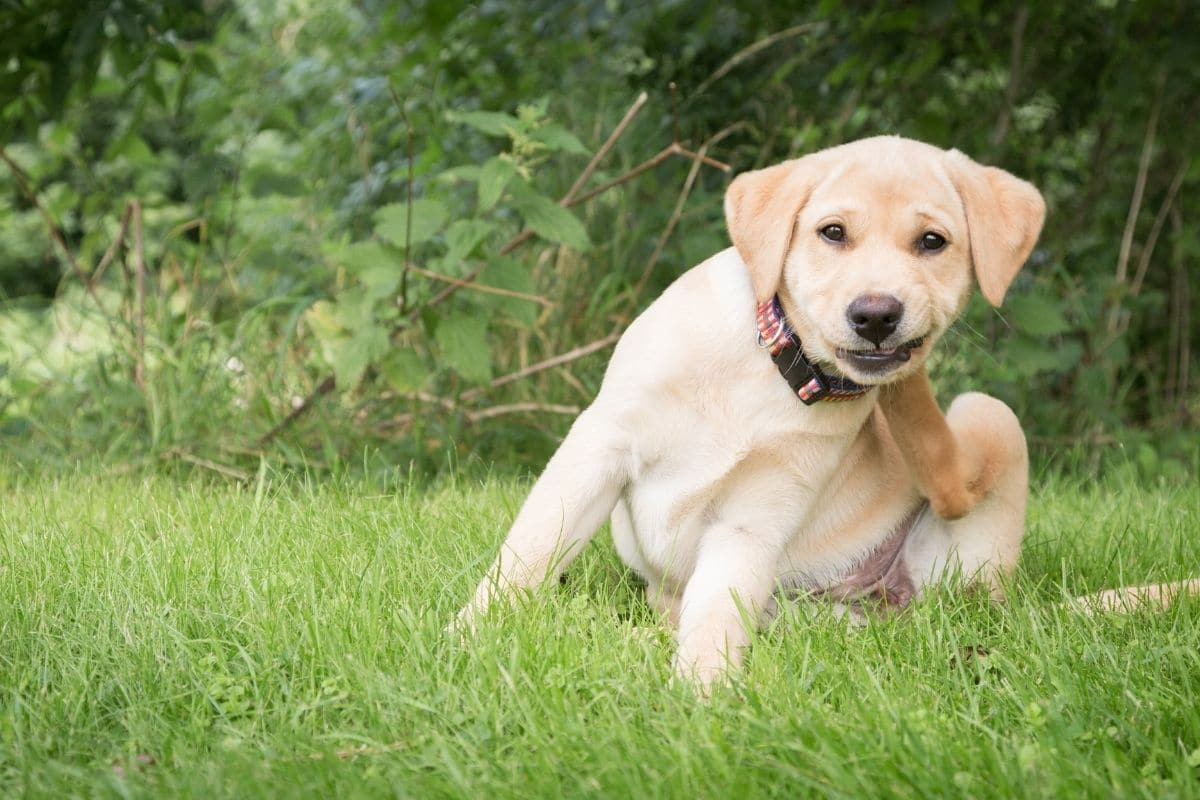 Golden lab puppy sitting in grass and scratching fleas behind her ear.