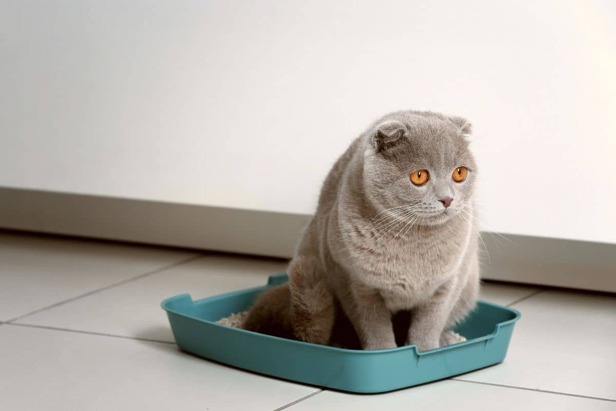 Scottish fold cat sitting in a litterbox that needs to be cleaned